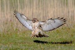 Aterrissagem vermelha da cauda Imagens de Stock Royalty Free