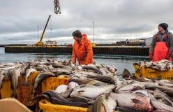 Aterrissagens de peixes de bacalhau em Islândia Fotografia de Stock Royalty Free