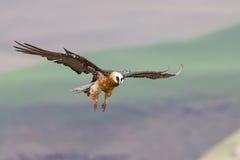 Aterrizaje adulto del buitre barbudo en la repisa de la roca donde están avai los huesos Imagen de archivo libre de regalías