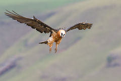 Aterrizaje adulto del buitre barbudo en la repisa de la roca donde están avai los huesos Foto de archivo
