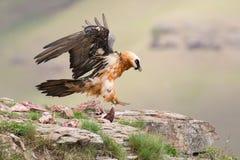 Aterrizaje adulto del buitre barbudo en la repisa de la roca donde están avai los huesos Fotos de archivo
