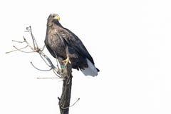 Aterrizaje aislado de Eagle en una rama de árbol fotografía de archivo