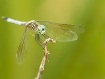 Aterrizaje azul en una rama, New Jersey, los E.E.U.U. de la libélula Imágenes de archivo libres de regalías
