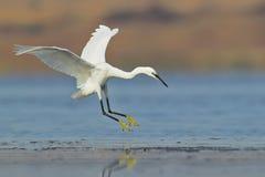 Aterrizaje blanco de la garceta en el agua Imagen de archivo libre de regalías