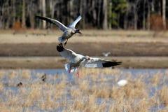 Aterrizaje de dos gansos Imágenes de archivo libres de regalías