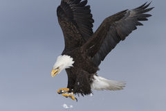 Aterrizaje de Eagle calvo, Homer Alaska Foto de archivo