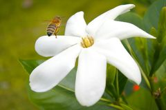 Aterrizaje de Honey Bee en la flor de Tiare Maori en el cocinero Island de Rarotonga Foto de archivo libre de regalías
