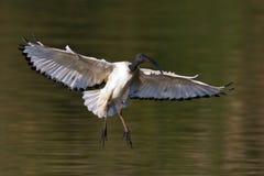Aterrizaje de Ibis sagrado del africano Fotos de archivo