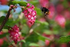 Aterrizaje de la abeja Foto de archivo libre de regalías