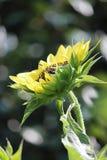 Aterrizaje de la abeja Foto de archivo