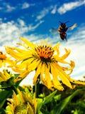 Aterrizaje de la abeja de la miel en una flor Fotografía de archivo