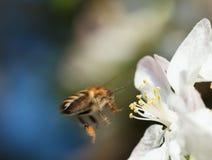Aterrizaje de la abeja en la flor de la manzana Foto de archivo libre de regalías