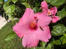 Aterrizaje de la abeja en hibisco Imagen de archivo
