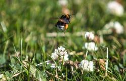 Aterrizaje de la abeja en la flor Imágenes de archivo libres de regalías