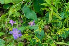 Aterrizaje de la abeja en la flor púrpura Foto de archivo libre de regalías