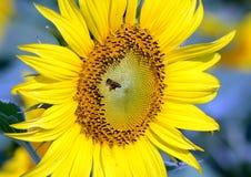 Aterrizaje de la abeja en los floretes del disco del girasol Fotografía de archivo libre de regalías