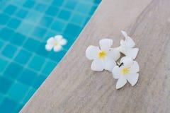 Aterrizaje de la abeja en tres flores blancas del plumeria en el borde de la piscina fotos de archivo