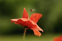 Aterrizaje de la abeja en un Papaver Fotografía de archivo