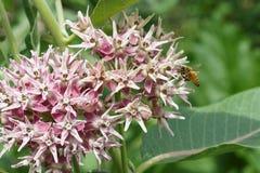 Aterrizaje de la abeja en una flor milweed pantano Foto de archivo libre de regalías