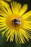 Aterrizaje de la abeja en una margarita amarilla Imagen de archivo