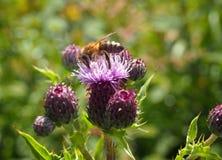Aterrizaje de la abeja de la miel en una flor rosada del cardo en un prado del verano Fotografía de archivo