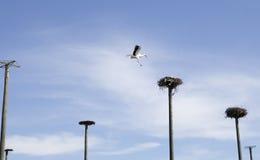 Aterrizaje de la cigüeña Foto de archivo libre de regalías
