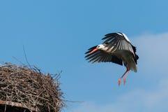 Aterrizaje de la cigüeña blanca Fotografía de archivo libre de regalías
