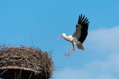 Aterrizaje de la cigüeña blanca Fotografía de archivo
