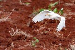 Aterrizaje de la garceta de ganado en tierra de cultivo del campo fotografía de archivo libre de regalías