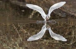 Aterrizaje de la gaviota Foto de archivo libre de regalías