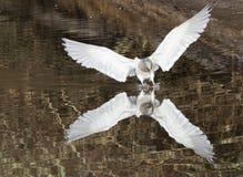Aterrizaje de la gaviota Fotografía de archivo