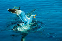 Aterrizaje de la gaviota en agua Imagen de archivo