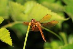 Aterrizaje de la libélula en un vástago verde Foto de archivo