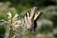 Aterrizaje de la mariposa Foto de archivo libre de regalías