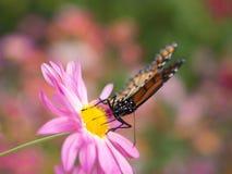 Aterrizaje de la mariposa en crisantemos rosados Imagen de archivo libre de regalías