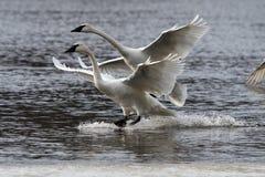 Aterrizaje de los cisnes de trompetista Foto de archivo