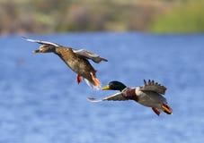 Aterrizaje de los pares del pato del pato silvestre Fotos de archivo libres de regalías