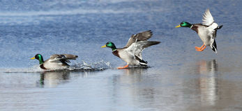 Aterrizaje de los patos Foto de archivo libre de regalías