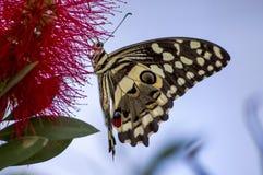 Aterrizaje de Swallowtail Imagenes de archivo
