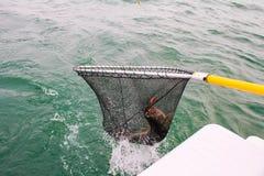 Aterrizaje de un pescado grande Imagen de archivo libre de regalías