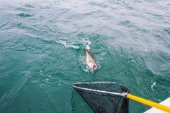 Aterrizaje de un pescado grande Imágenes de archivo libres de regalías
