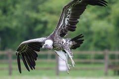 Aterrizaje del buitre Vuelo africano del pájaro del limpiador en cierre para arriba con Imágenes de archivo libres de regalías