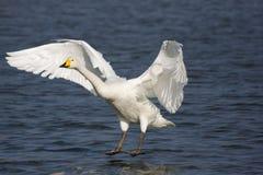 Aterrizaje del cisne Fotografía de archivo libre de regalías