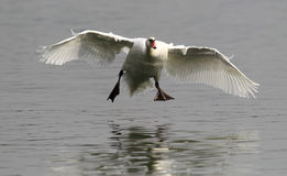 Aterrizaje del cisne mudo imagen de archivo