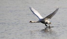 Aterrizaje del cisne mudo fotografía de archivo libre de regalías