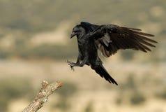 Aterrizaje del cuervo Imagen de archivo libre de regalías