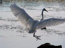 Aterrizaje del Egret Fotografía de archivo libre de regalías