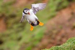 Aterrizaje del frailecillo Imagen de archivo libre de regalías