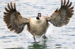 Aterrizaje del ganso de Canadá en agua fotos de archivo libres de regalías