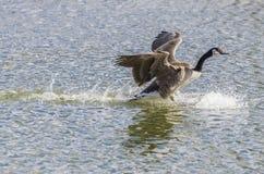 Aterrizaje del ganso de Canadá en el agua Fotografía de archivo libre de regalías